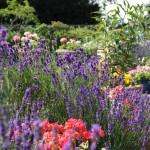 4996-uplands-house-lavender