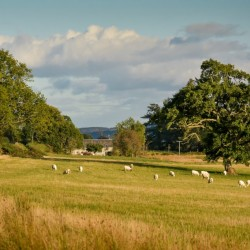 Cardross Ash and Hawthorne Cottages Sheep in field