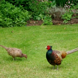 Challan Hall B&B Silverdale Pheasants