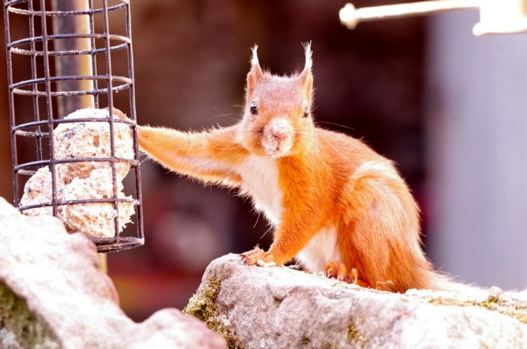 Johnby Hall B&B- the Garden - red squirrel