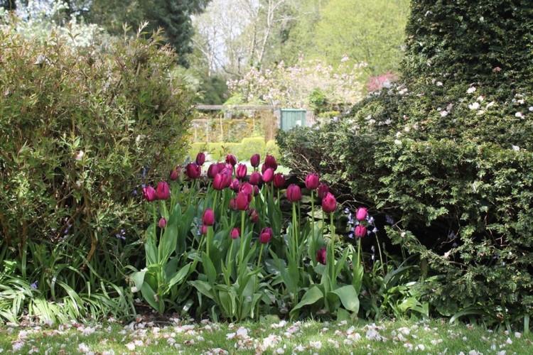 Kilmokea B&B - garden-purple tulips