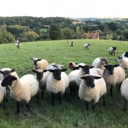 Talbot cottage B&B sheep