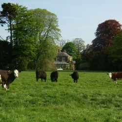 Cattle outside Wrackleford House