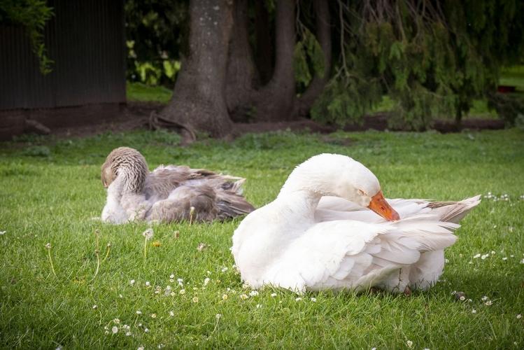 Huntlands farm geese