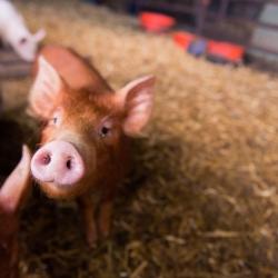 Huntlands farm piglet