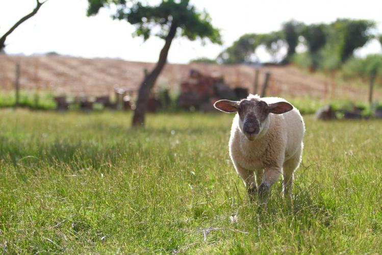 Huntlands farm sheep