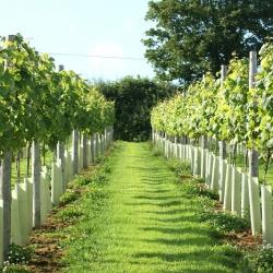 Lobhill Farm B&B-vineyard