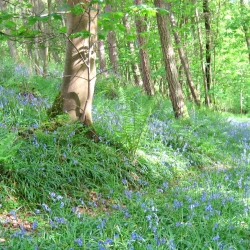 Johnby Hall bluebell-woods