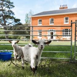 Reymerston Hall B&B near Norwich resident lambs