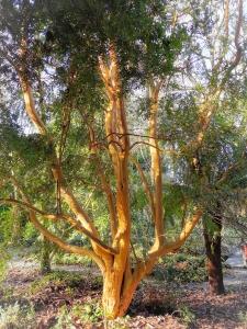 Kilmokea yellow-bark tree